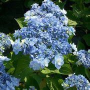 significato fiore ortensia ortensia quercifolia ortensia ortensia quercifolia