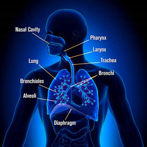 images of the respiratory system royalty free respiratory system pictures images and stock