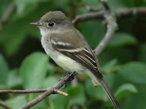 eastern phoebe eastern tennessee birds pinterest