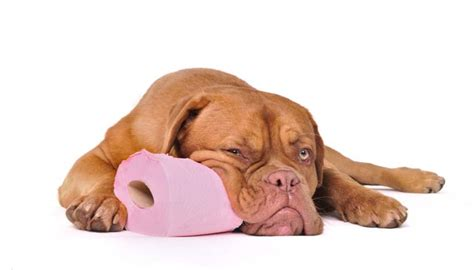 epi in dogs maldigestion disorder in dogs epi everything owners need to nextgen