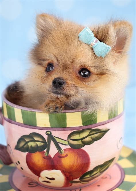 mini teacup pomeranian puppies adorable teacup pomeranian puppies for sale teacups puppies boutique