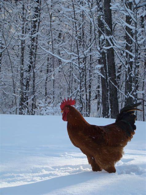 surviving minnesota backyard chickens