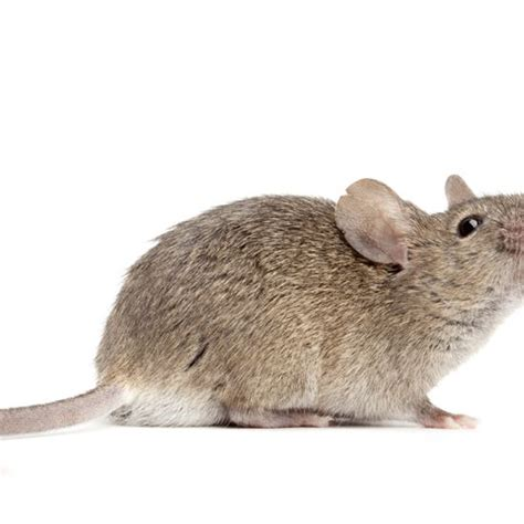 how to get rid of mice in your backyard how to get rid of mice in your food storage and garden from the ground up blog