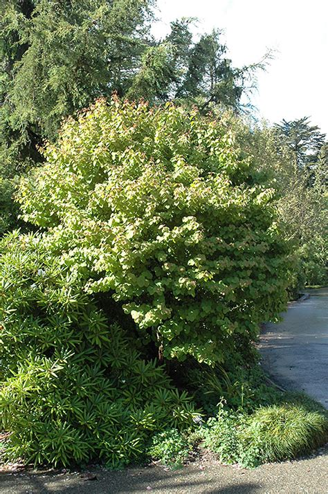 heronswood globe katsura tree cercidiphyllum japonicum