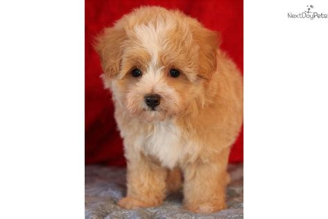 teddy puppies for sale near me malti poo maltipoo puppy for sale near tulsa oklahoma dba11a45 f921