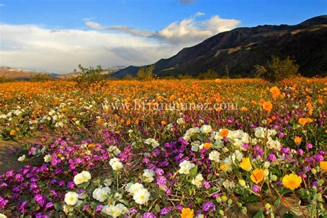 wildflowers anza borrego borrego spring california photos