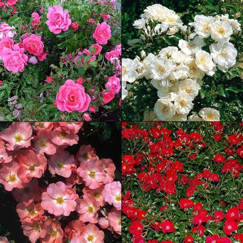 rosa flower carpet 174 roses red flower color
