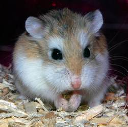 roborovski hamster flickr photo sharing