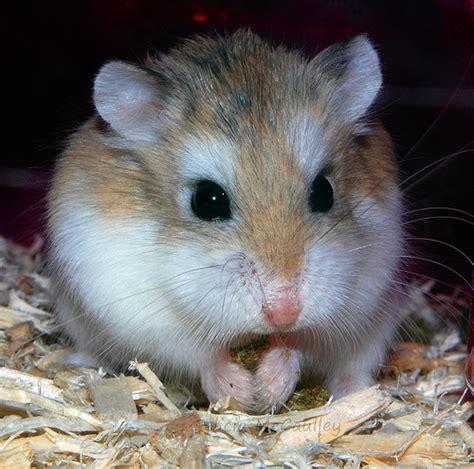 roborovski hamster flickr photo sharing