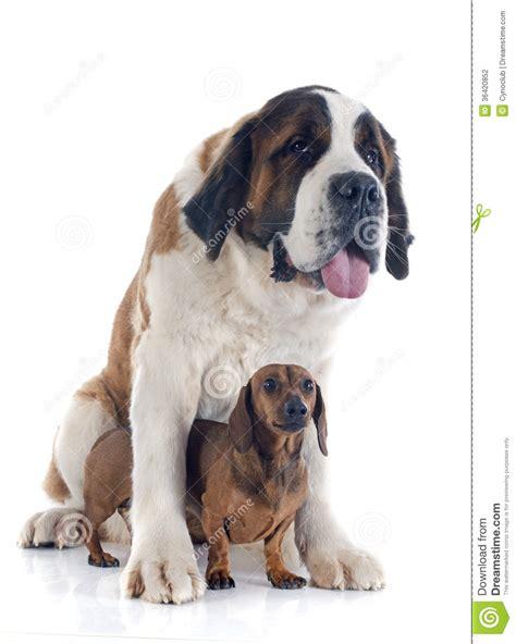 saint bernard and dachshund dog stock photo image 36420852