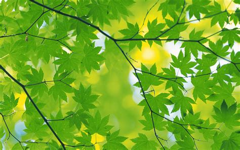 wallpaper daun green leaves wallpapers pixelstalk net