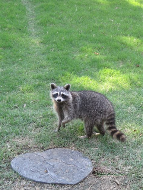 raccoon in backyard hangin with raccoons house of sylvestermouse