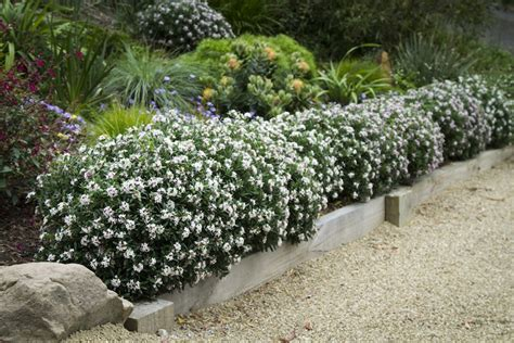 Hedge Planter Bag Small hedge experiments with and leptospermum gardendrum