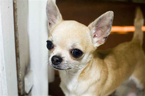 8 Cool Breeds by Chihuahua Facts 8 Cool Hd Wallpaper Dogbreedswallpapers