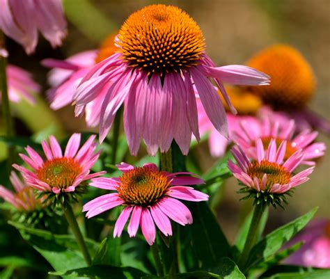 top fall flowers for your garden perennials plants and why fall is the best time to plant perennials espoma
