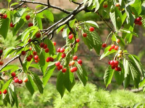 top 28 leaf cherry tree edible ornamental sour