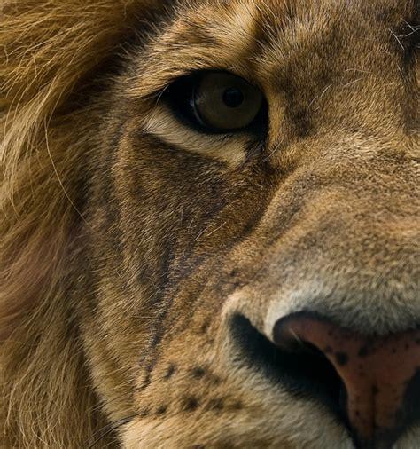 imagenes de leones las mejores las mejores fotos de leones nunca antes vistas taringa