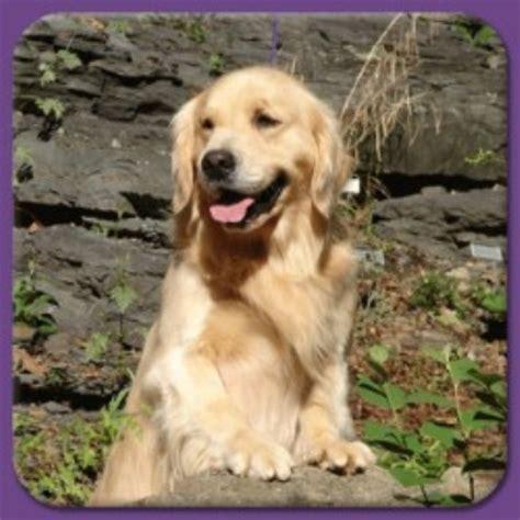 hilltop golden retrievers hilltop golden paws golden retriever breeder in