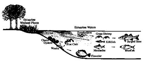 chesapeake bay food web diagram chesapeake bay waterbird food web driverlayer search engine