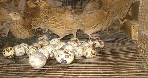 Bibit Ayam Eropa dijual bibit burung puyuh petelur bisnis yang mengiurkan