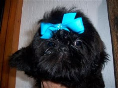 solid black shih tzu puppies for sale shih tzu puppies in louisiana