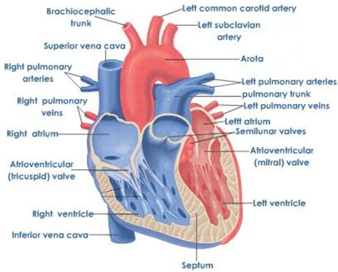 photo heart layout he chambers blood flow diagram he free engine image for