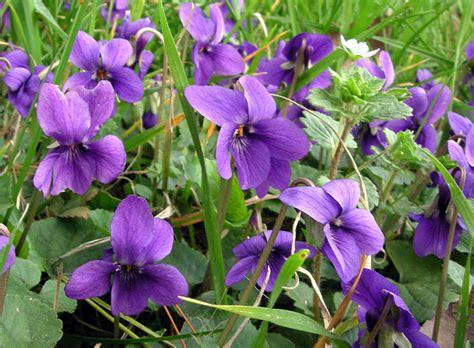 fiori colore viola viola odorata l schede delle erbe piante e fiori