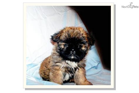 shiffon puppies care pictures non sporting breeds brussels griffon breeds picture