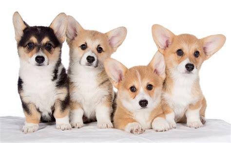 corgi puppies florida corgi puppies aren t just for royalty but your family petland sarasota