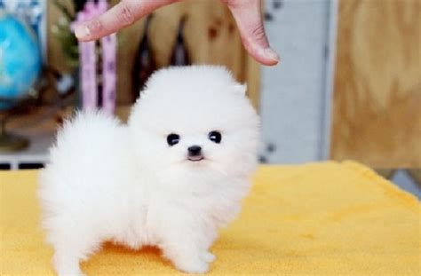 teacup pomeranian puppies for sale cheap precious micro white teacup pomeranian puppies for sale picture cheap litle pups