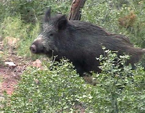 imagenes de animales jabali jabal 237 sus scrofa familia suidae regi 243 n de murcia digital