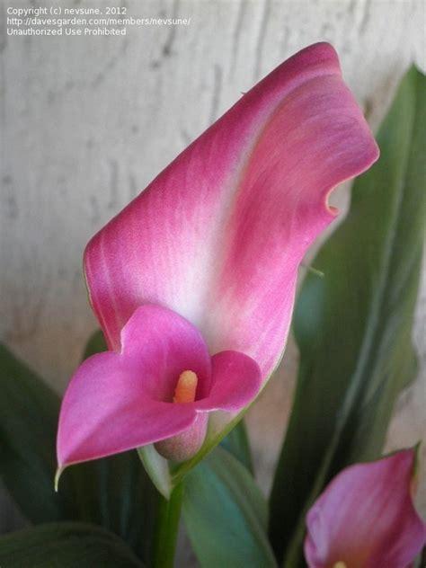 pink arum lilies
