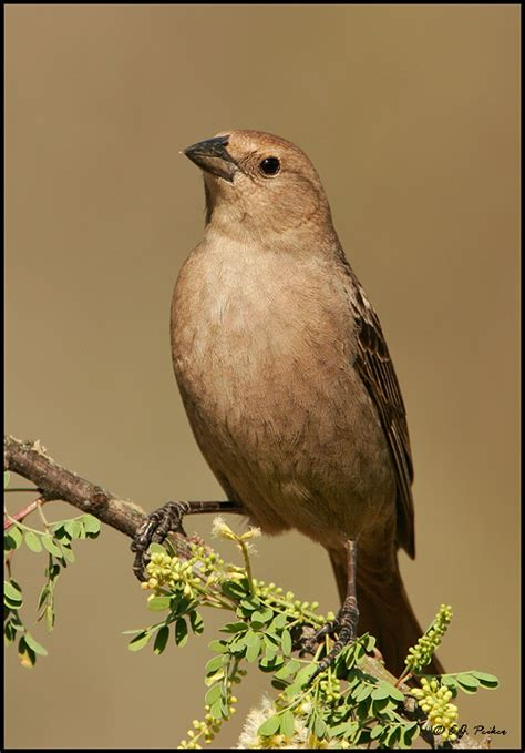 Is Headed For by Brown Headed Cowbird Page