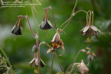 top 28 how to keep columbine blooming aquilegia white star columbine granny s bonnet
