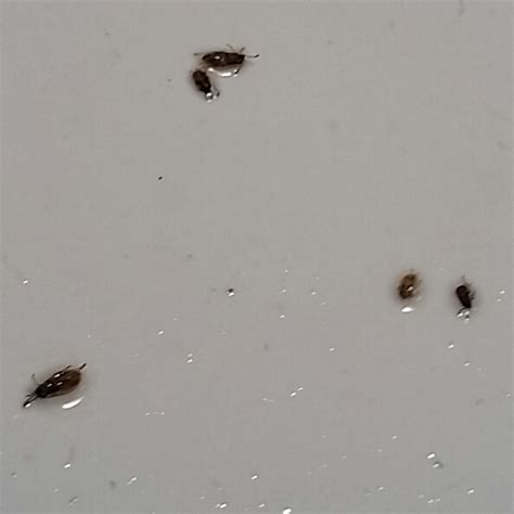 what are these tiny brown crawling bugs in my bathroom