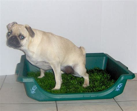 how to house train small dogs teaching a small dog to use a litter box the pet product guru