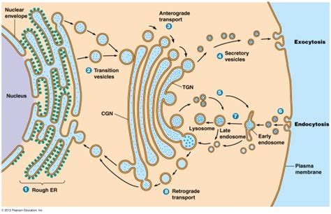 protein trafficking endomembrane system and peroxisomes 내막계와 퍼옥시즘 네이버 블로그