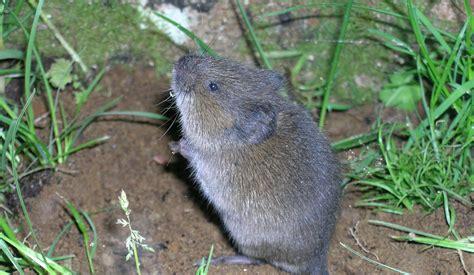 backyard rodents wildlife gardening in washington state washington state university