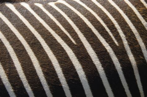 zebra pattern texture free photo zebra texture nature stripes free image