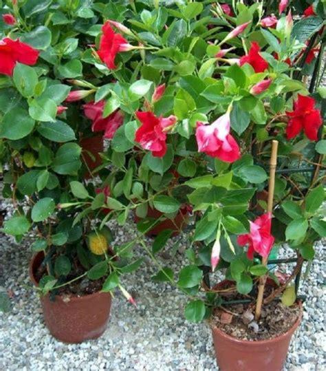piante da vaso per esterno invernali piante invernali da balcone le specie che fioriscono con