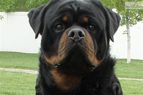 rottweiler puppies utah rottweiler puppy for sale near ogden clearfield utah 5ce0ecb6 2061