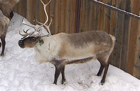reindeer section reindeer antlers amazing skin regeneration may someday