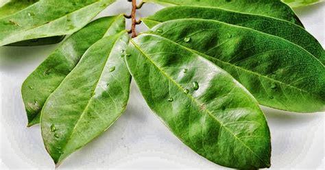 sihat  kembali  herba   membuat teh daun