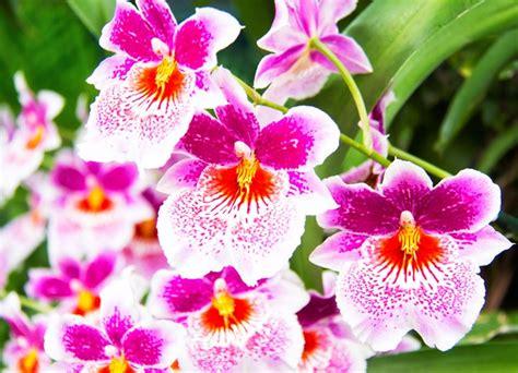 come curare orchidea in vaso come coltivare le orchidee in casa consigli per coltivare