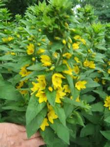 Yellow Garden Flowers Identification Id This 2 Foot With Yellow Flowers For Me