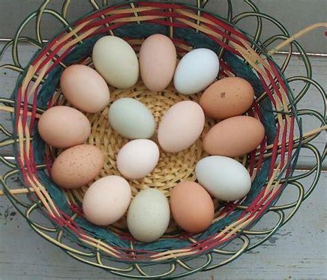 barred rock egg color egg color from barred rock x easter egger