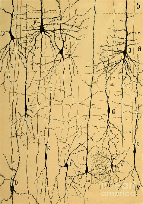 Cajal Neuron Drawings golgi stained retinal neurons by santiago ramon y cajal