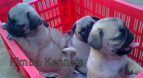pug puppies for sale in bangalore golden retriever puppies for sale bangalore india free breeds picture
