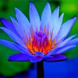 The Blue Lotus Flower Blue Lotus Flower Buddha