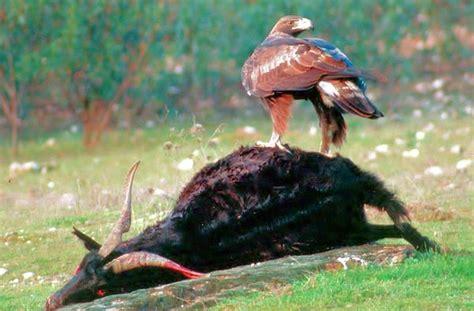 Imagenes Animales Carroñeros | agila real sobre carro 241 a imagen foto animales aves